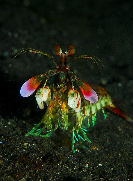 444px-Mantis_shrimp_from_front