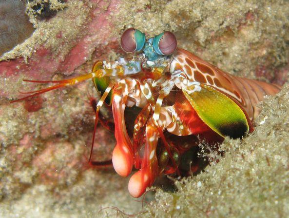 794px-OdontodactylusScyllarus