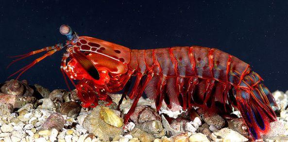 800px-OdontodactylusScyllarus2