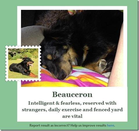 Beauceron